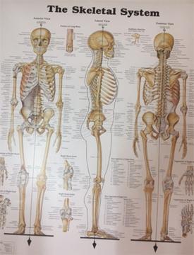 גוף האדם – כרזה 1