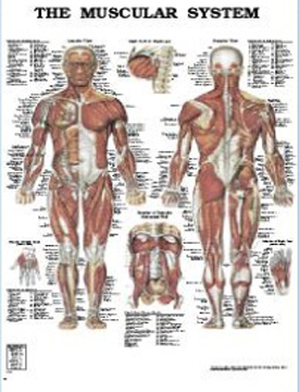גוף האדם – כרזה 2